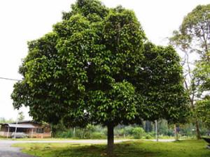 mangosteen-tree-indonesia-health-benefits-of-pericarp