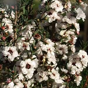 manuka-plant--leptospermum-scoparium