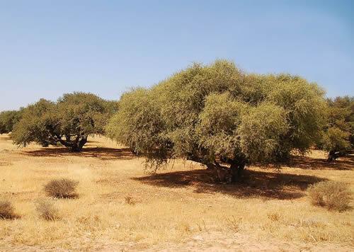 argan-tree-morocco-plantation-arganier-luc-viatour